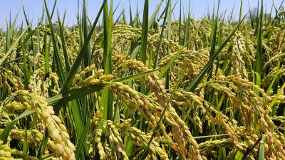 우리 기술로 UAE 사막에서 벼 재배 성공