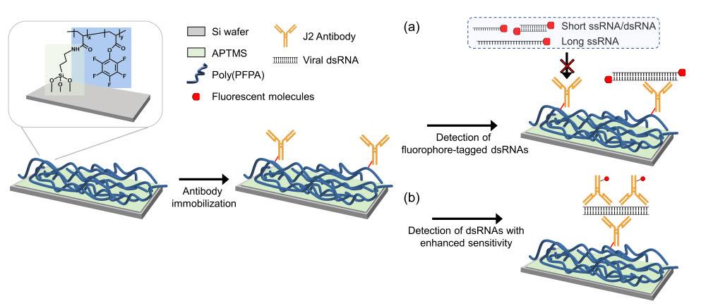 dsRNA를 검출하는 기판 제작 모식도