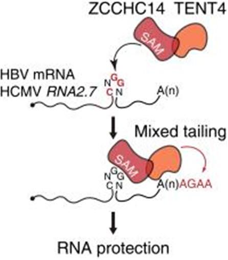 TENT4 단백질, ZCCHC14 단백질 복합체의 혼합꼬리 생성과 바이러스 RNA 안정화 메커니즘.