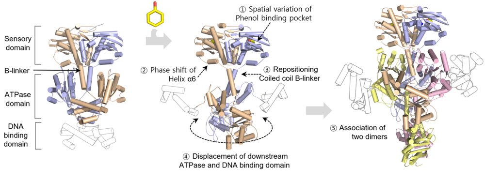 DmpR의 활성 메커니즘 모델
