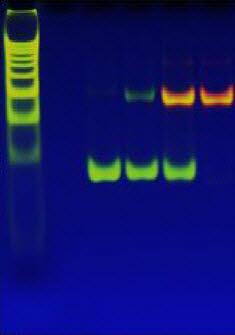 DNA와 결합해 오렌지색 형광을 띠는 은나노클러스터센서