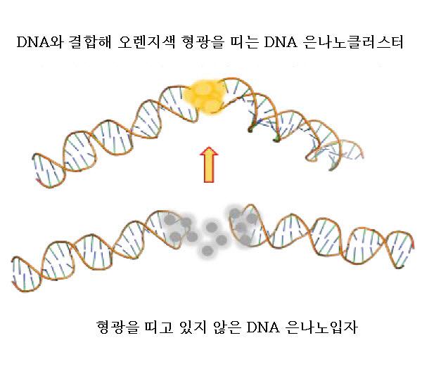 두 개의 머리핀 구조의DNA가 마주 보는 결합 구조를 형성할 때 은나노클러스터센서가 오렌지색 형광을 띤다.
