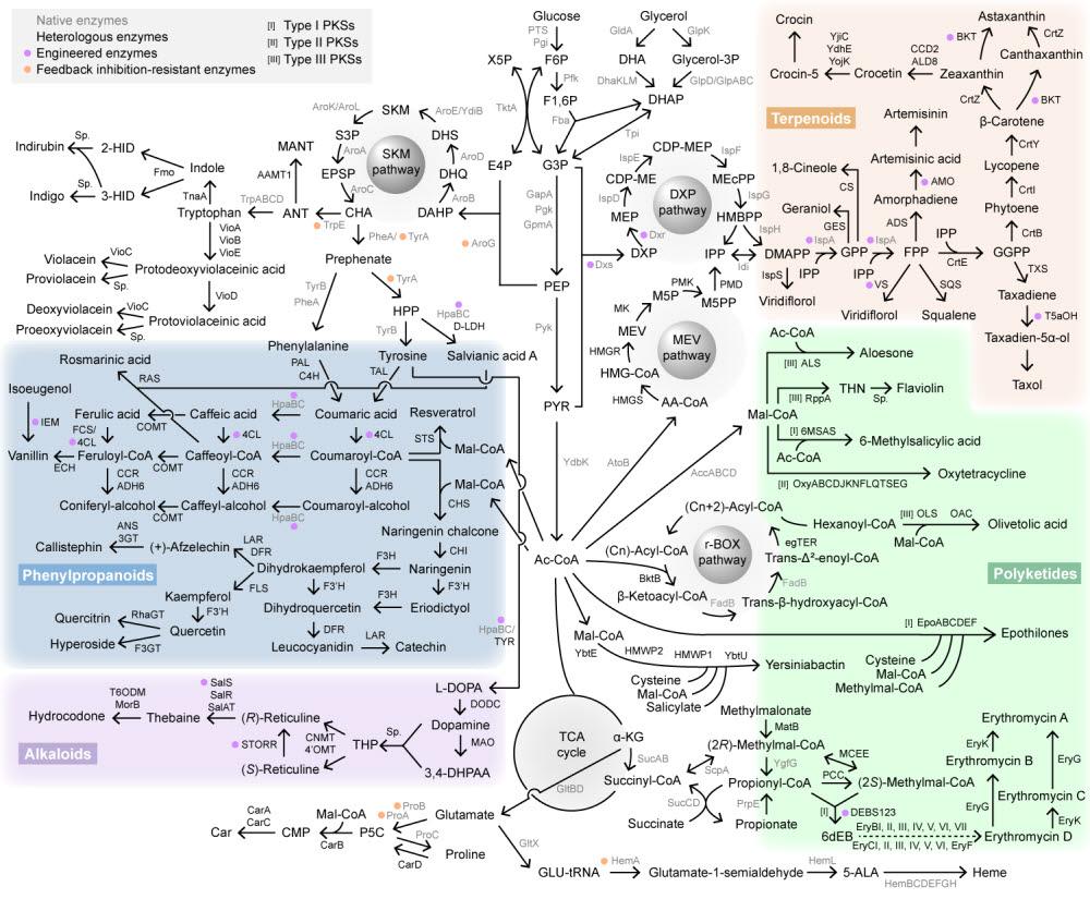 대장균 세포 공장으로 생산한 대표 천연물 대사회로 지도