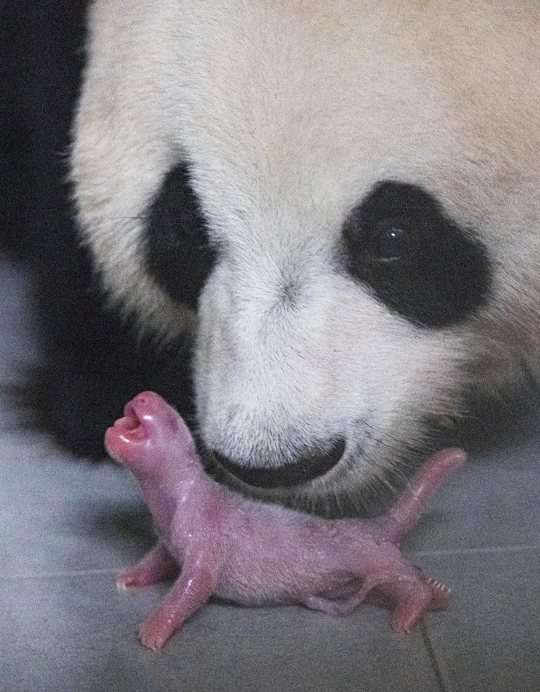 태어난 직후의 아기 판다와 엄마 아이바오 모습