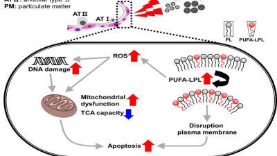 미세먼지, 폐 조직에 '비정상적인 세포반응' 일으킨다...KIT 규명