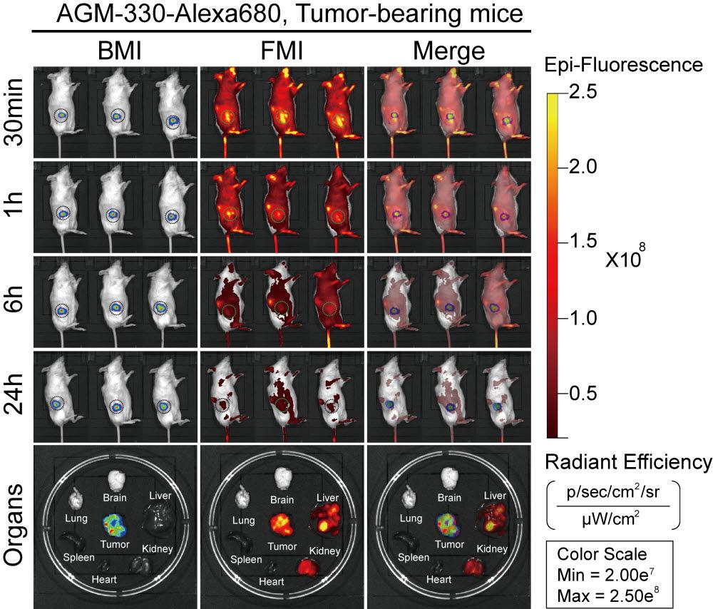 유방암 유도 동물모델 실험에서 신규 펩타이드 리간드를 정맥 주사한 뒤 주요 장기별 축적을 형광 이미지로 검증한 모습.