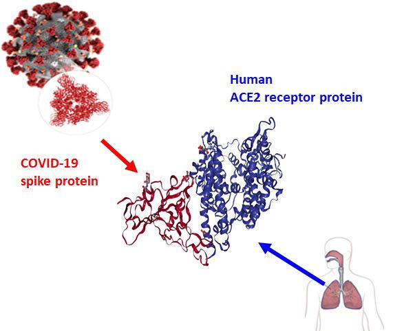 코로나19 바이러스 표면의 스파이크 돌기 RBD 단백질(빨간색)과 인간 세포 표면 hACE2 수용체 단백질(파란색)의 결합 모식도.
