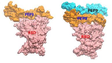 DGIST가 개발한 코로나19 바이러스 치료제 인공단백질의 중화작용 모식도.