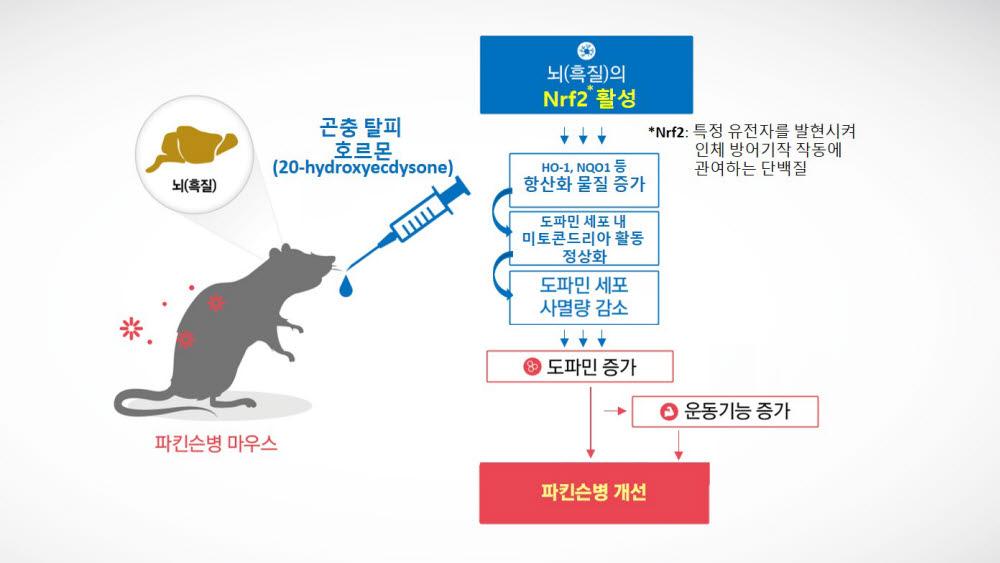 곤충호르몬의Nrf2 활성을 통한 파킨슨 증상 개선효능 모식도