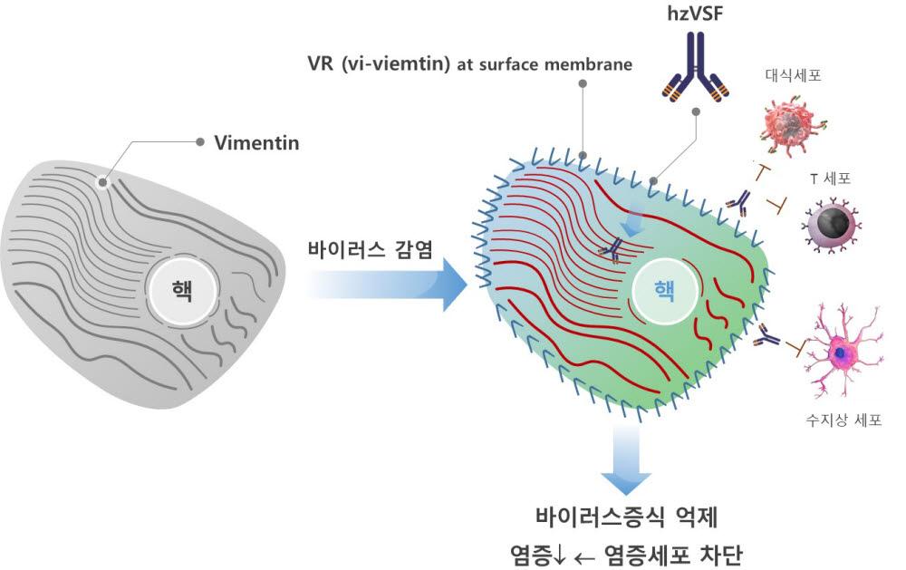 이뮨메드 hzVSF 작용기전 (자료=이뮨메드)