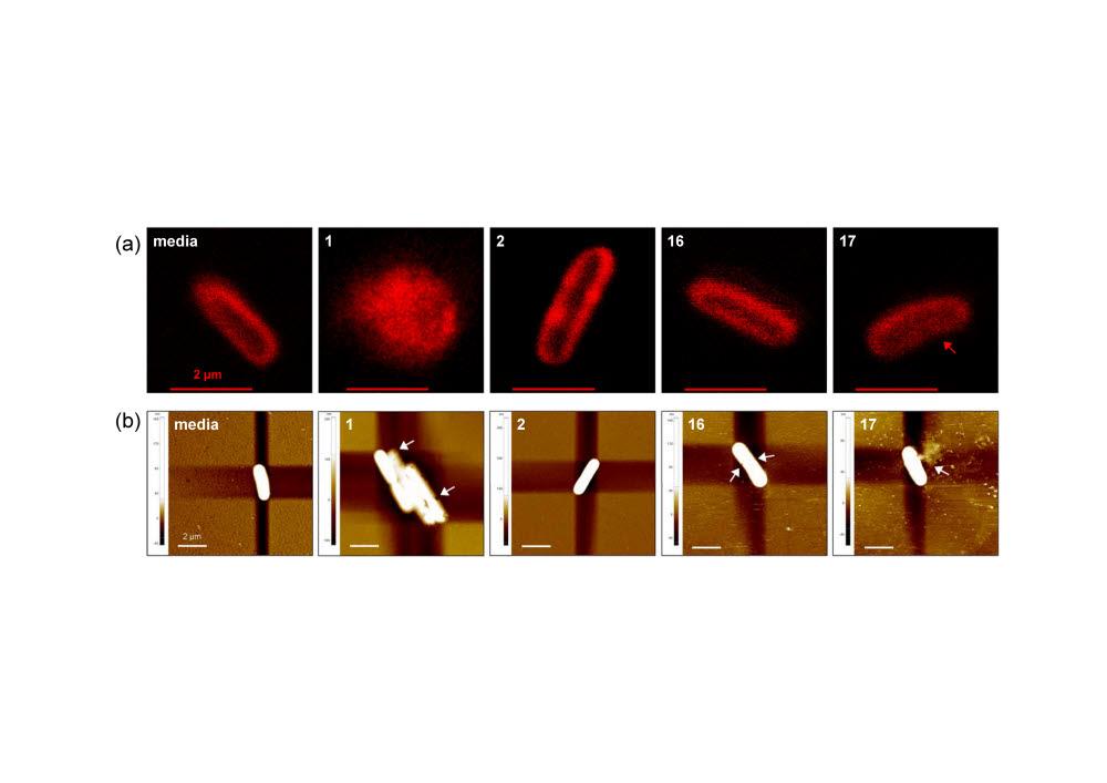 항균 펩토이드 처리시 대장균의 세포막 변화를 (a)공초점 레이저 현미경 및 (b)원자 현미경으로 관찰한 모습.