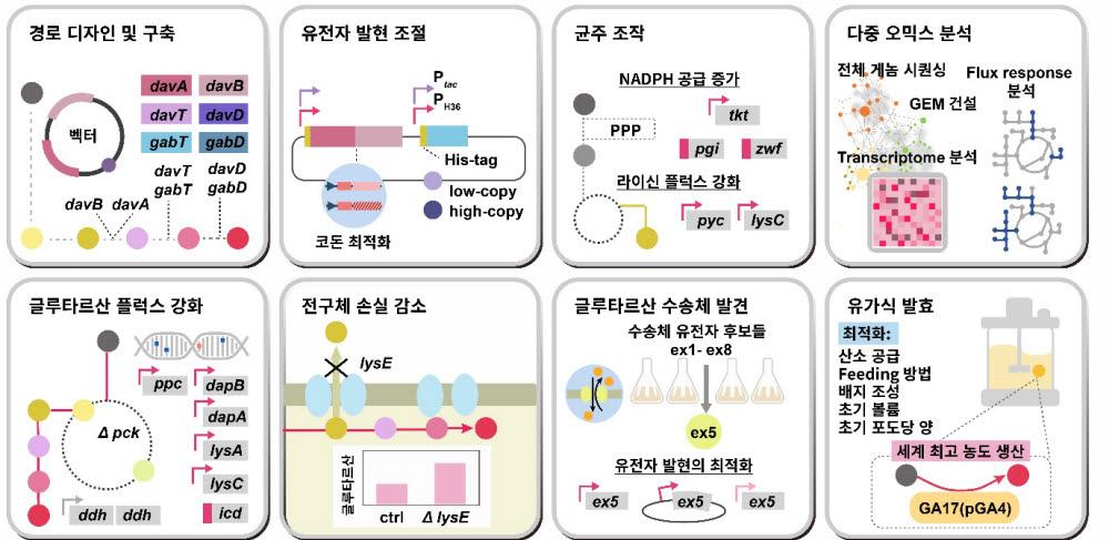 고농도 글루타르산 생성능을 가지는 코리네박테리움 글루타미쿰 제작 시스템 대사공학 전략