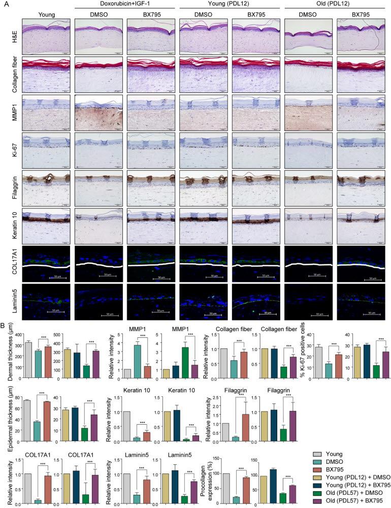 3D 인공피부 모델에 PDK1 단백질 저해제(BX795)를 첨가했을 때 정상적인 젊은 피부의 형태와 기능을 회복하는 모습