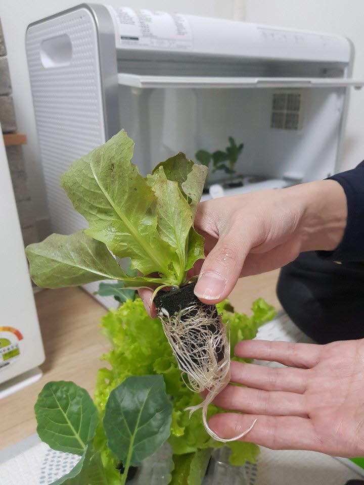 손바닥만한 모종이 배달된다. 모종과 물, 배양액을 넣어주면 준비 끝.