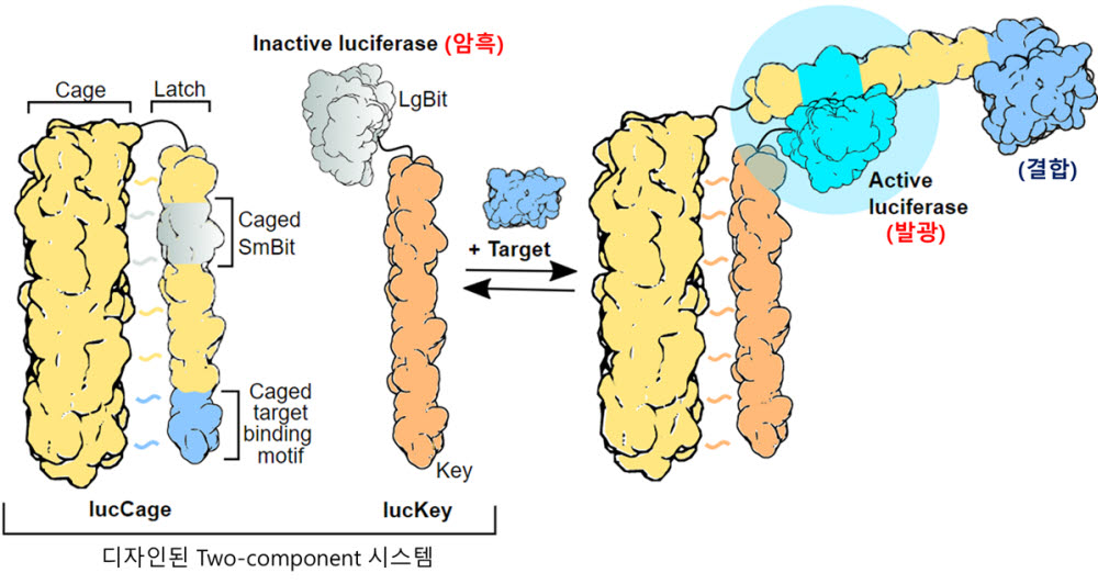 개발된 단백질 센서시스템의 작동 모식도