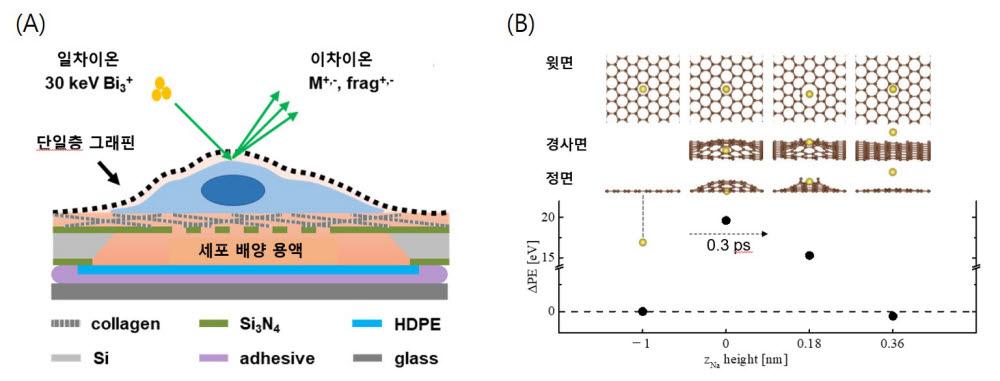 단일층그래핀으로 덮힌배양된 세포막으로부터 생체 분자들이단일층 그래핀을 뚫고 탈착되는 모식도(A) 및 예상 탈착과정(B)