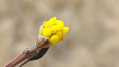노란 꽃봉오리 터뜨린 나무