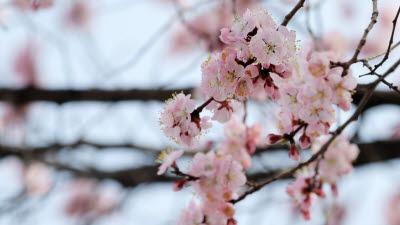 안녕 벚꽃