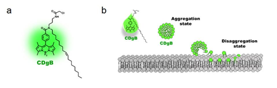 CDgB의 구조와 형광 발현 메커니즘