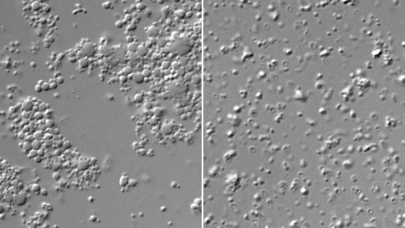 모양이 들쭉날쭉하게 분열한 합성세포(왼쪽)와 7개의 유전자를 추가해 똑같은 모양으로 분열한 합성세포(오른쪽). (출처: 크레이크 벤터 연구소)