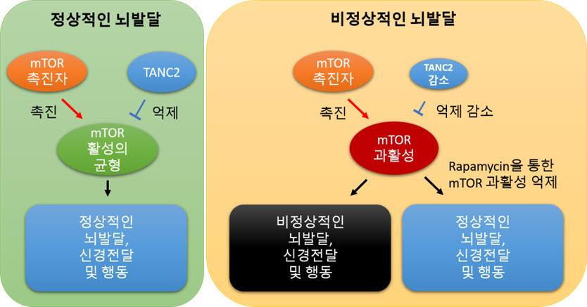 TANC2에 의한 mTOR 신호전달체계의 균형 유지 모식도
