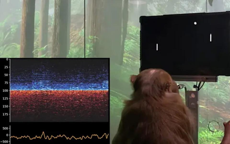 생각으로 핑퐁 게임을 하고 있는 원숭이 페이저의 모습. (출처: 뉴럴링크)