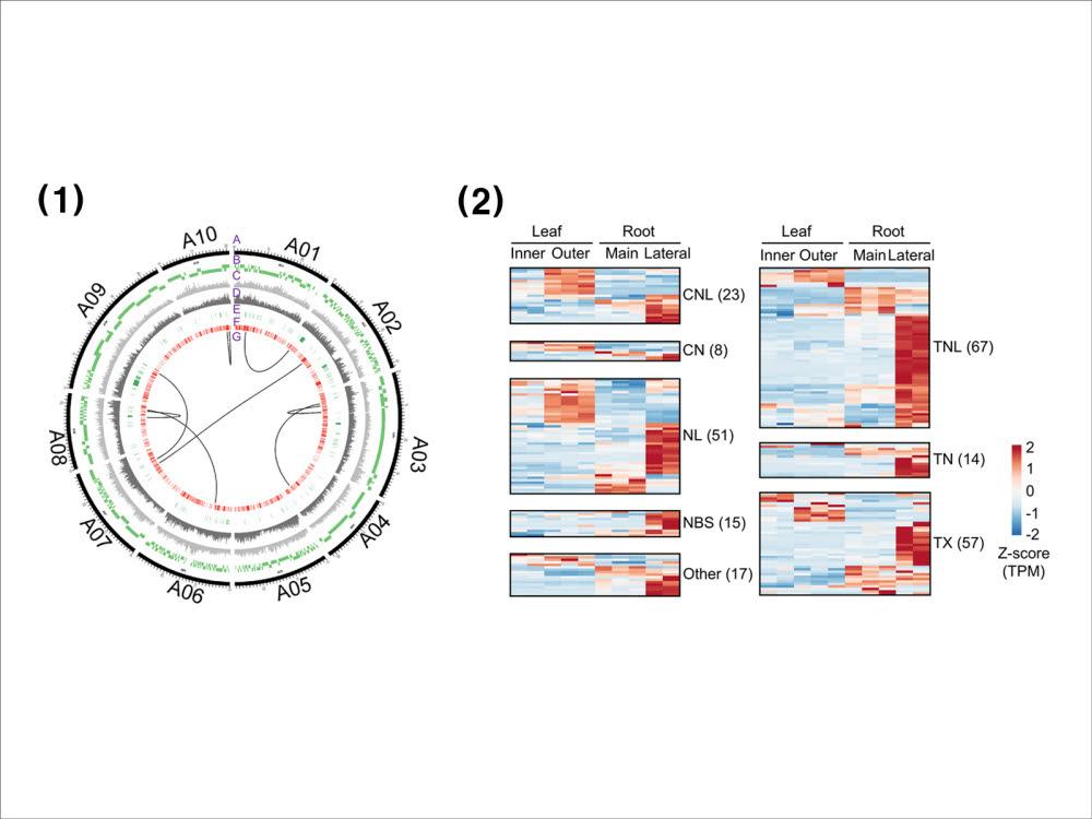 유럽 계통 순무와 배추의 염기서열 비교(왼쪽)와 순무에서 확인된 병 저항성 유전자 발현 패턴 (자료=테라젠바이오)