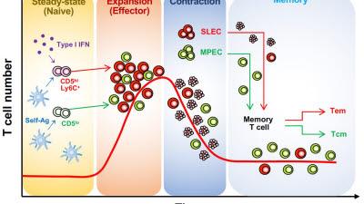 전남대·서울대, 신생 CD8 T세포 기능다양성 형성 기전 규명